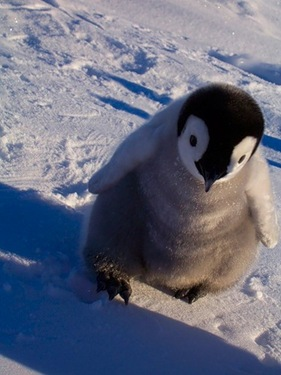 cute-baby-penguin41