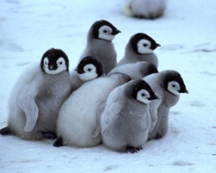 cute-baby-penguin5